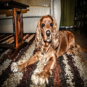 pet stain removal belfast